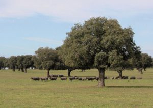 De geschiedenis van de zwarte Iberico varkens