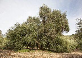 Olijfboom